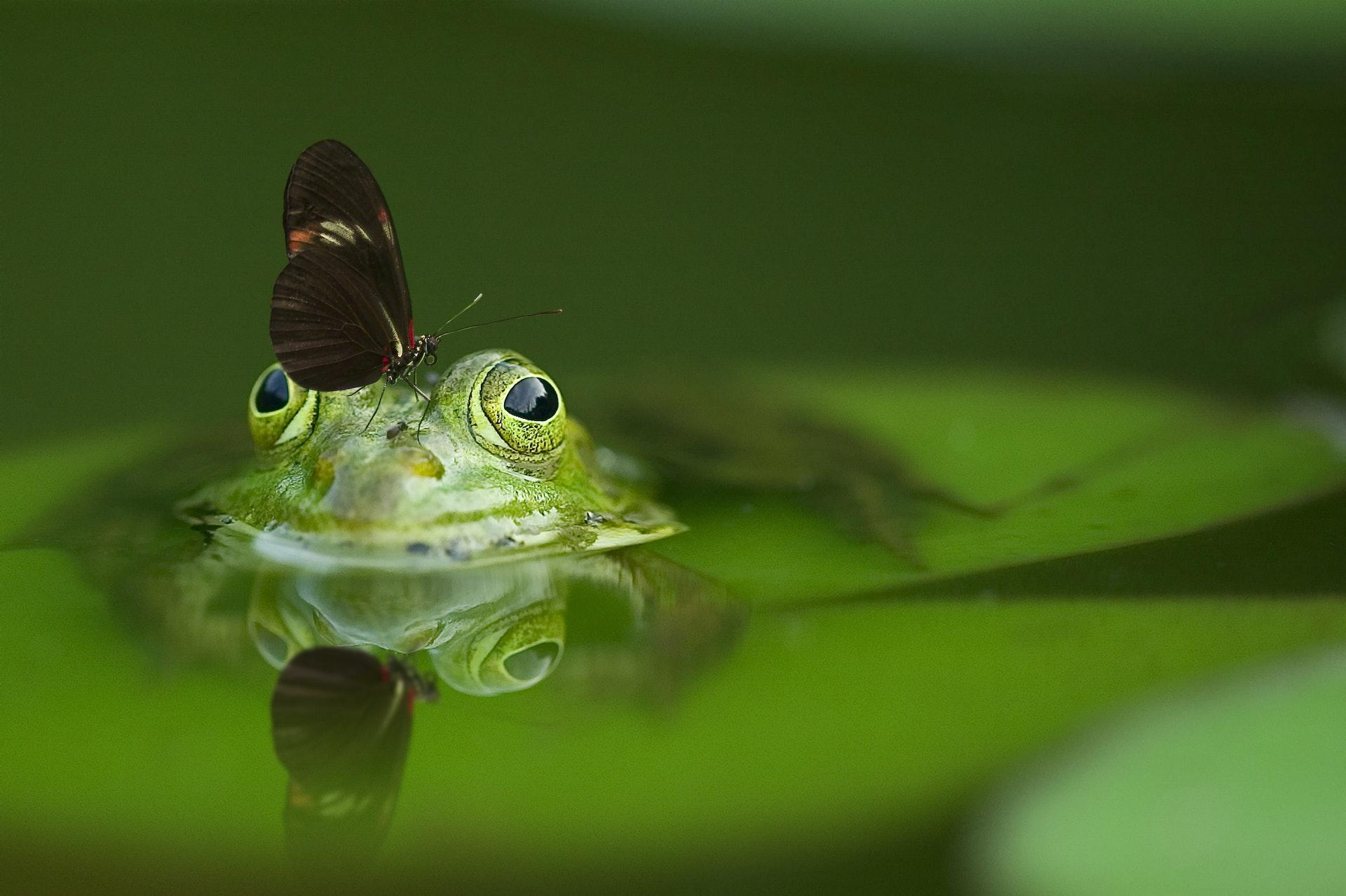 vlinder op kikker